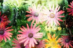 COLORFUL BUNCH OF GERBER DAISIES. CLOSE UP OF COLORFUL BUNCH OF PINK AND PEACH GERBER DAISIES IN A SPRINGTIME GARDEN royalty free stock photo