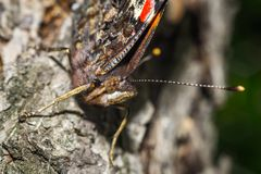 Close up of a colorful butterfly Royalty Free Stock Image