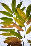 Close up of colorful chestnut tree leaves in autumn season. Close up of colorful chestnut tree leaves in autumn royalty free stock photos
