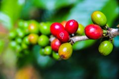 Close up of colorful coffee beans. Close up of colorful coffee cherries on tree branch in the garden,Thailand Royalty Free Stock Image