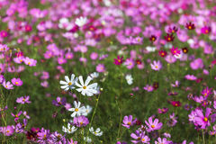Close up colorful cosmos flowers Royalty Free Stock Images