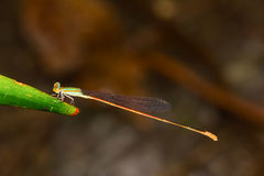 Close up of colorful damselfly Stock Images
