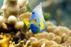 Close-up of the colorful face of Queen Angelfish,  holacanthus ciliaris, swimming on coral. Close-up of the blue and yellow face of Queen Angelfish,  holacanthus Stock Photography
