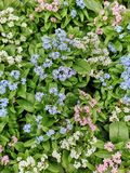 Close-up of the colorful flowers of Forget-me-not plants. A close-up of the colorful flowers of Forget-me-not plants. These flowering plants are very popular in stock photos