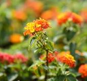 Close up colorful Lantana camara flowers Royalty Free Stock Images