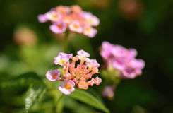 Close up colorful Lantana camara flowers Stock Images