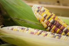 Close up of colorful maize or corn.Thailand. Close up of colorful maize or corn.Thailand Royalty Free Stock Photo