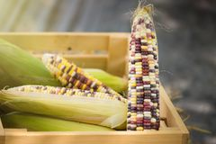 Close up of colorful maize or corn.Thailand. Close up of colorful maize or corn.Thailand Royalty Free Stock Photos