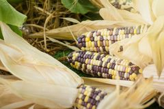 Close up of colorful maize or corn.Thailand. Close up of colorful maize or corn.Thailand Stock Photos