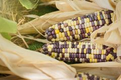 Close up of colorful maize or corn.Thailand. Close up of colorful maize or corn.Thailand Royalty Free Stock Images