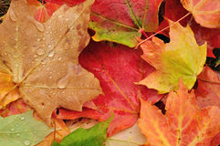 Close-up of a Colorful Maple Leaves Royalty Free Stock Photography