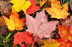 Close-up of a Colorful Maple Leaves Royalty Free Stock Images
