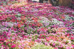 Colorful multicolored impatiens balsamina flowers blooming in gaden , nature group stock photos