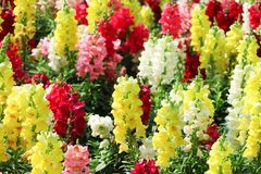 Colorful nature multicolored snap dragon group or antirrhinum majus flowers blooming in garden , outdoor background royalty free stock images