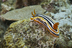 Close-up of a colorful nudibranch off Padre Burgos, Leyte, Philippines Stock Photo