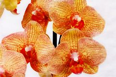 Close up colorful orchid flowers royalty free stock photography