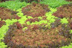 Colorful ornamental salad organic vegetable in farm , Fresh green oak red oak, red coral, red buttavia, and frillice iceberg royalty free stock images