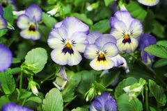 Colorful pansy viola flowers stock images