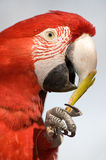 Close up of a colorful parrot eating. Stock Images
