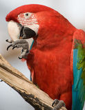 Close up of a colorful parrot eating. Stock Photography