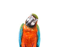 Close up colorful parrot macaw isolated on white Royalty Free Stock Images