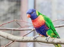Close up of a colorful parrot. Close up of a colorful small parrot  in a park stock photography