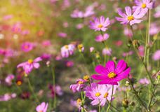 Close up colorful pink cosmos flowers Royalty Free Stock Photo