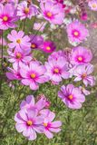 Close up colorful pink cosmos flowers blooming in the field Stock Images