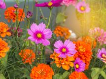 Close up colorful pink cosmos flowers and orange zinnia elegans flowers blooming in the field. Public park on sunny day royalty free stock image