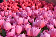 Close up of colorful pink tulips stock photography