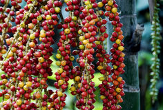 Plam seeds. Close up of colorful plam seeds in Thailand Royalty Free Stock Images