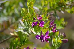 Close-up of Colorful Polygala Bush Flowers, Nature, Macro. Floral Background stock image