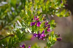 Close-up of Colorful Polygala Bush Flowers, Nature, Macro. Floral Background royalty free stock image