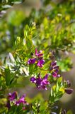 Close-up of Colorful Polygala Bush Flowers, Nature, Macro. Floral Background stock photos