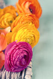 Close up of colorful ranunculus flowers Stock Image