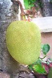 Colorful raw jackfruit  or artocarpus heterophyllus  with stalk and green leaves hanging on tree stock images