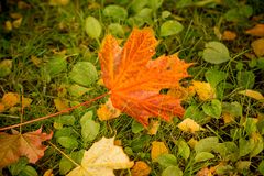 Close up Colorful Red colors and Green Color, autumn with Maple leaf fall in the moss grass lawn. Season change.Nature stock image