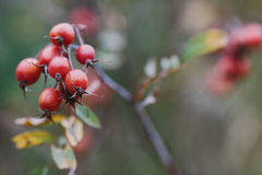 Close up of colorful red rose hips Stock Photography