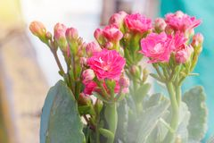 Kalanchoe. Close-up colorful small pink flowers of Kalanchoe Stock Photography