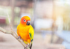 Close up colorful sun conure parrot birds Aratinga solstitialis standing perch on the branch. Close up colorful sun conure parrot birds Aratinga solstitialis Stock Photo
