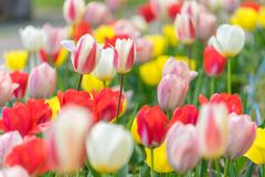 Close up colorful tulips in the garden Royalty Free Stock Images