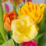 Close-up of colorful tulips Royalty Free Stock Photography