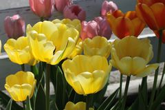 Close-up of colorful tulips Stock Photos
