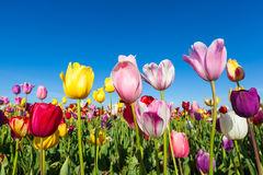 Close up colorful tulips in tulip field Royalty Free Stock Images