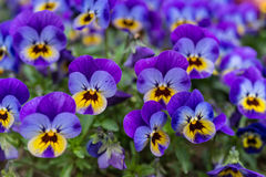 Close up of colorful violet viola flower in garden, spring Italy Royalty Free Stock Photography