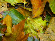 Close up of colorful, wet leaf litter. In autumn Stock Images