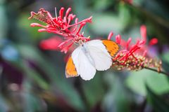 Close up colorful white butterfly with orange edge sucking the pollen on inflorescence of red flower in garden background. One royalty free stock photo