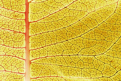 Close up of a colorful yellow Milkweed plant leaf. An extreme close up of a milk weed plant leaf. I used a back light to bring out the textures and bright royalty free stock image