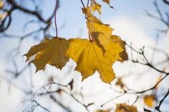 Close up colorido do outono das folhas de bordo amarelas de Noruega na luz solar com o céu azul no fundo Fotos de Stock