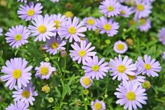 Colourful purple daisies background stock photos
